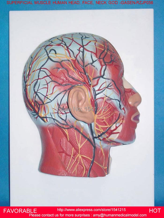 BRAIN ANATOMICAL,HEAD SAGITTAL SECTION MODEL HEAD AND NECK BLOOD VESSELS AND NERVES MODEL BRAIN ANATOMICAL MODEL- GASEN-RZJP056 economic half head with vessels model anatomical head model with brain nerves vascular muscles and vessels