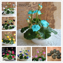5 Pcs/Pack Bowl lotus Bonsai Hydroponic Plants Aquatic Flower Pot Lotus Water Lily plant Garden