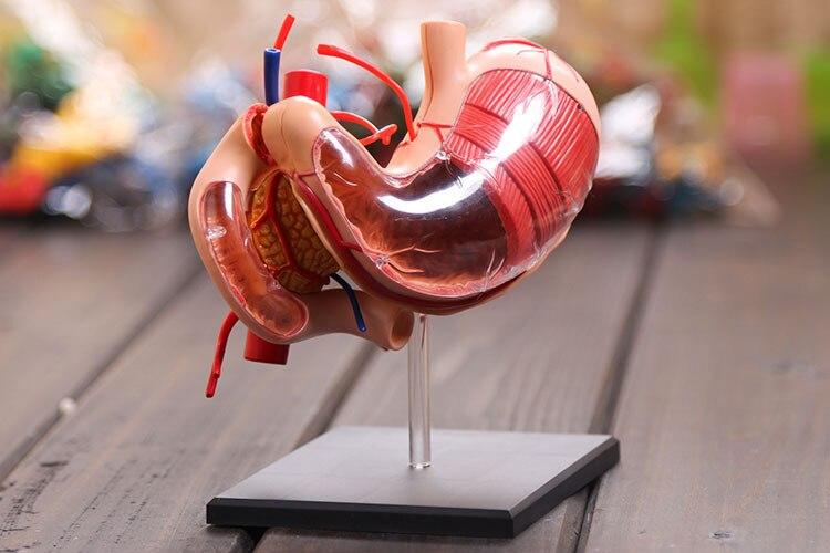 Teaching Resources 1:1 Leben Größe Menschlichen Magen Anatomisches Modell Magen Anatomie Modell Menschlichen Verdauungs System Medizinische Wissenschaft Orgel Struktur Modelle Schule & Educational Supplies