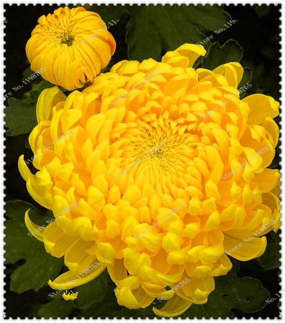 200 шт./пакет красивые желтые хризантемы Семена Редкие цветок в горшке семена DIY домашний сад растений легко выращивать