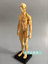 30cm resin  CG painting sculpture male model musculoskeletal anatomy human body structure art model  free shopping