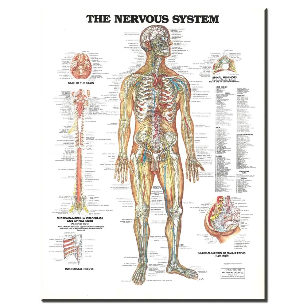 ZZ1853 de zenuwstelsel poster print canvas schilderij Anatomie ...