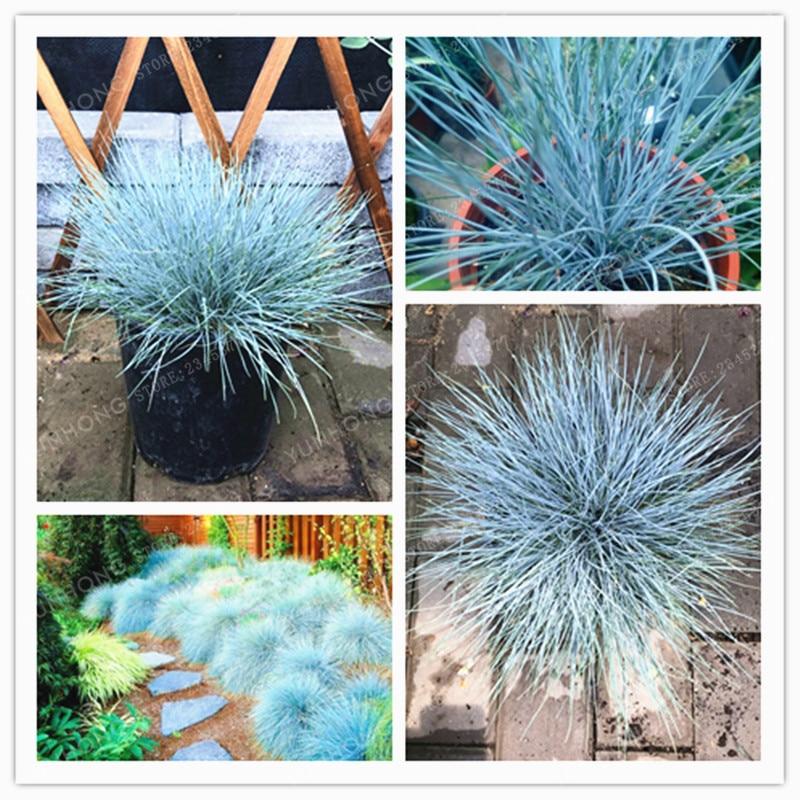 100 pcs grass bonsai blue fescue fesnea glauca ornamental grass bonsai grass for flower plant