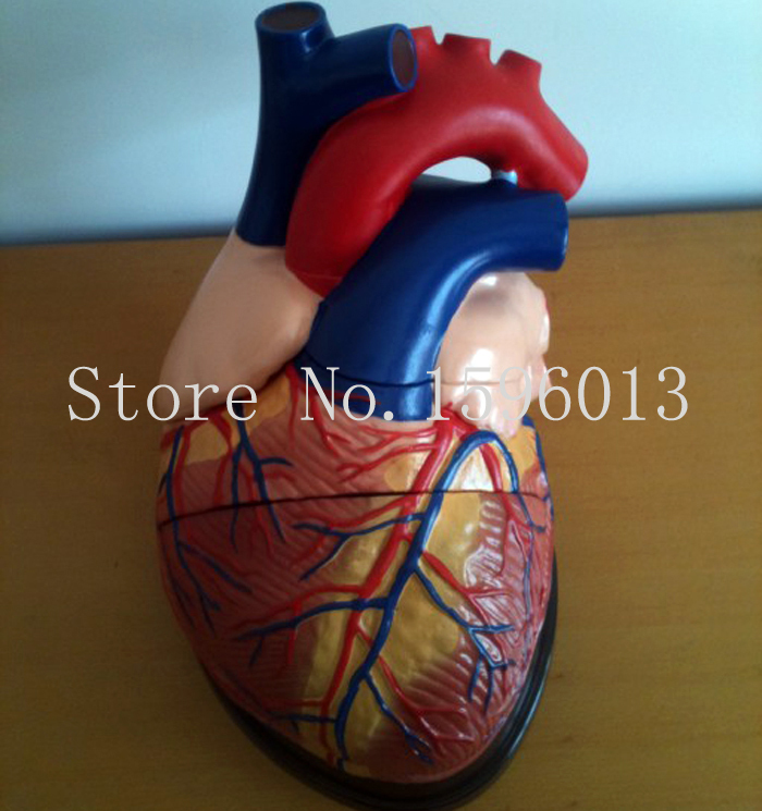 Jumbo Human Heart Model 3 parts, Anatomical Heart model cmam nasal01 section anatomy human nasal cavity model in 3 parts medical science educational teaching anatomical models