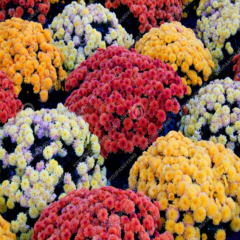150pcs Aster Seeds Aster Flower Bonsai Flower Seeds Colorful Chrysanthemum Seeds Perennial Flowers Home Garden Plant