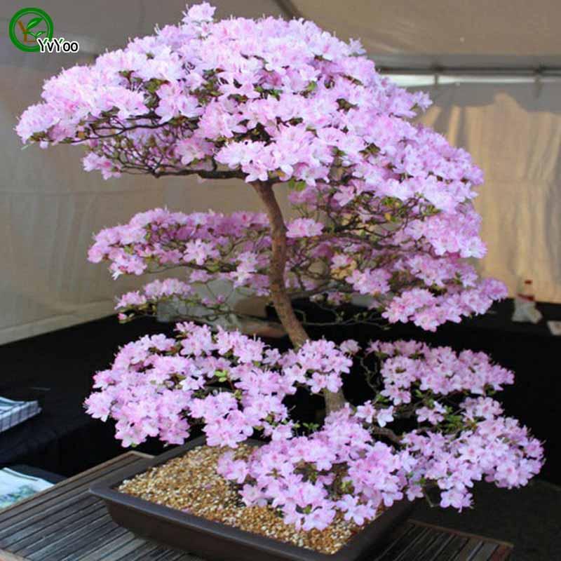 Cherry blossoms Bonsai Flower Plant DIY Home Garden plant Easy to Grow 10 Particles / lot E002
