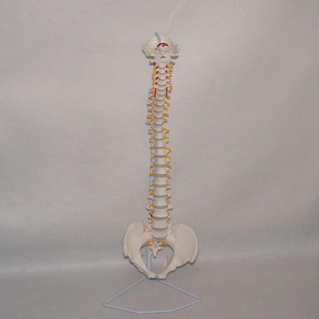 Didactico flexible columna vertebral anatomía modelo humano ...