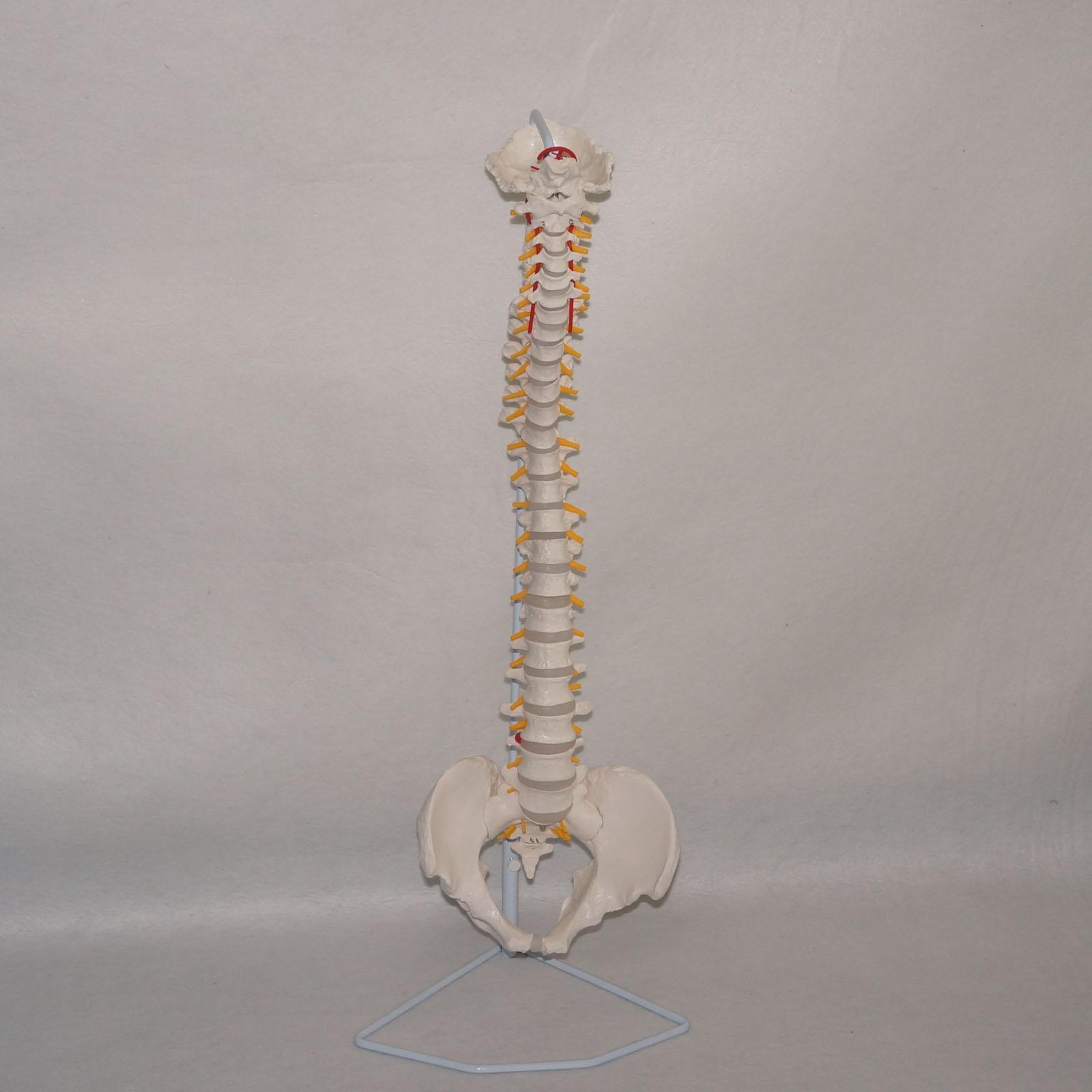 Modèle d'anatomie de colonne vertébrale Flexible didactique spécimen de squelette humain Science médicale