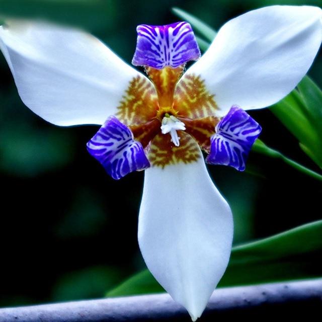 Hot Rare White Colour Iris Orchid Seeds Beautiful Perennial Flowers Flower 50pcs