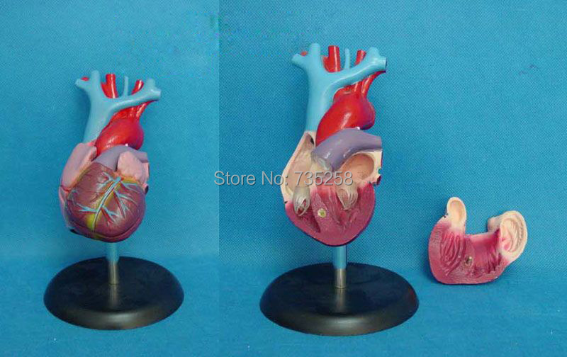 Natural Big Heart Anatomy Model,Heart Model,ISO Certification Heart Anatomy Model heart anatomy viscera medical model model of cardiac cardiac anatomy human heart heart medium demo model 6 gasen rzjp006