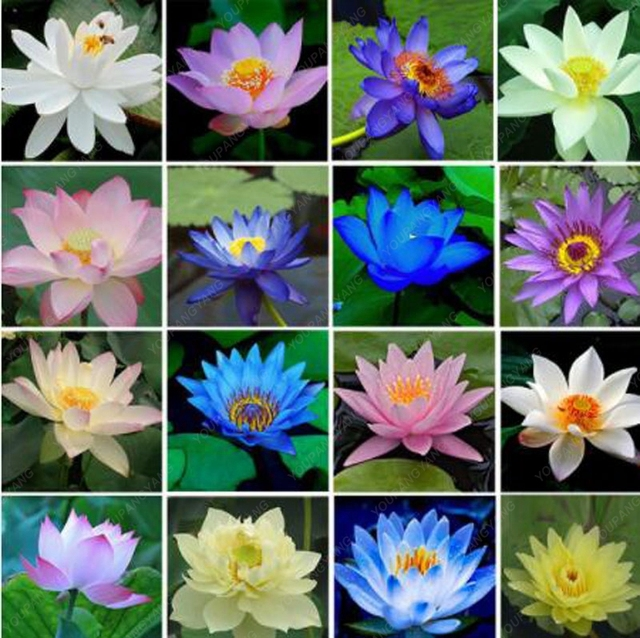 10pcs Bowl Lotus Flower Plants Lotus Plants Bonsai Lotus Bonsai