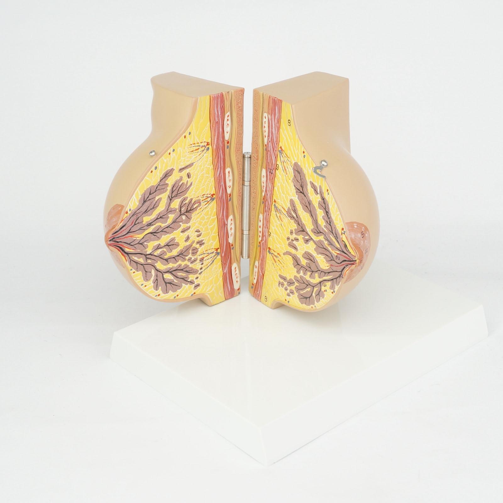 Медицинская женская стационарная фаза Модель груди Анатомия улучшения красоты Акушерство и гинекология обучения