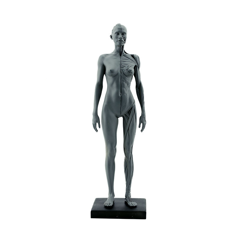 Synthetic Resin Medicine Female Human Body Model Teaching Anatomy and Muscles Hospital Furniture and Decoration Keychains cmam nasal01 section anatomy human nasal cavity model in 3 parts medical science educational teaching anatomical models