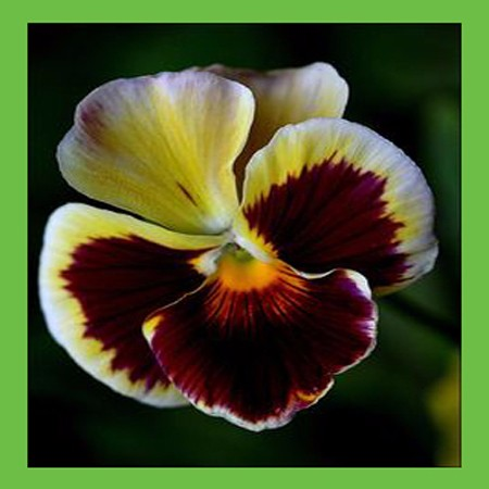 Compare prices on red pansies online shopping buy low for Terrace color combination