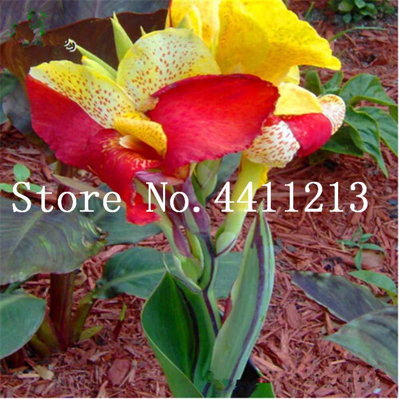 50 pces multi-cor perene canna planta de flor árvore bonsai plantas ornamentais banana gênero semillas para casa jardim plantio