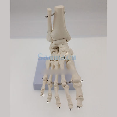 Image 4 - Foot and Ankle Joint Functional Anatomical Skeleton Model Medical Display Teaching School Life Sizeanatomical skeleton modelskeleton modelanatomical skeleton -