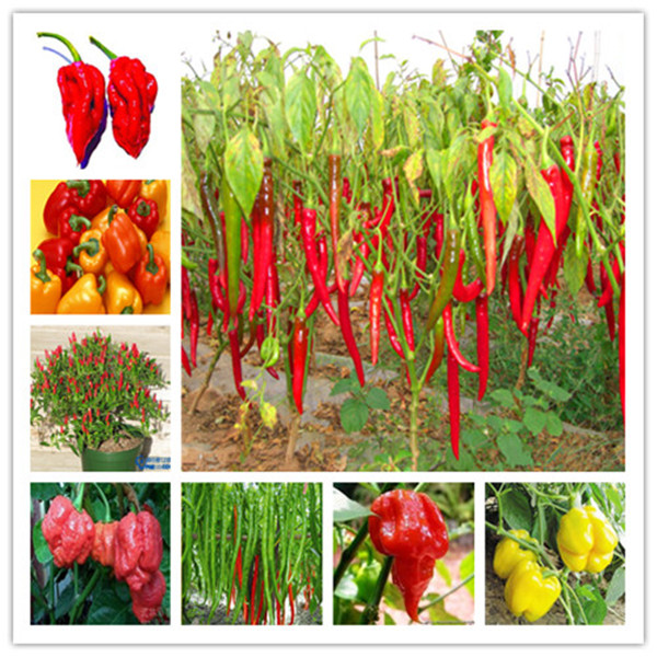 Sale At A Loss New To The1000pcs Long Chili Red Pepper Bonsai Healthy Vegetable Banana Bonsai Fruit Bonsai For DIY Home Garden