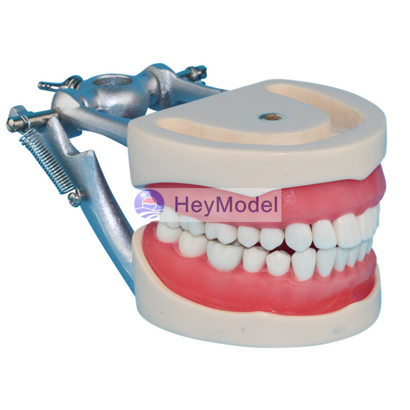 HeyModel Adult Teeth Model Dental Teaching Model with DP Jaw Rack 2016 dental orthodontics typodont teeth model half metal half ceramic brace typodont with arch wire
