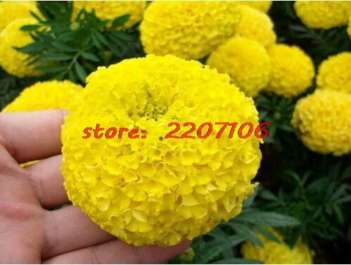 Yellow African French Marigold Herbs Erecta Seeds Tagetes Flower for home garden plant * Soil planted Bubble bag Organic
