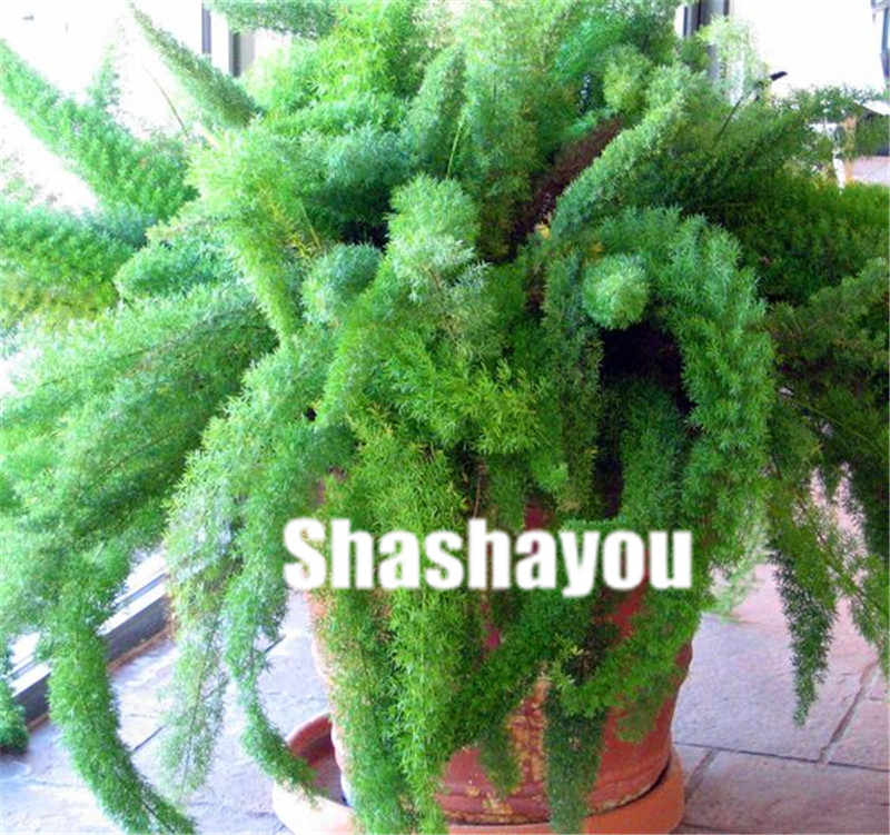 Sales! 100 Pcs Rare Herbs Foxtail Fern Bonsai Bambu Blue Winter Bonsai Plants Ornamental Plant For Home & Garden Potted Plant