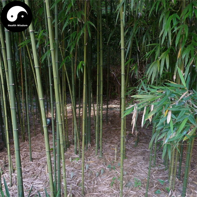 buy square bamboo tree semente 200pcs plant bamboo for bamboo shoots