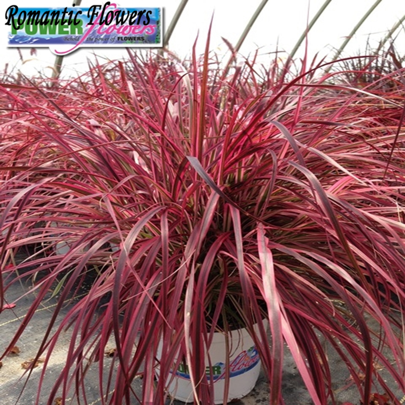 Online buy wholesale fountain grass from china fountain for Hardy fountain grass