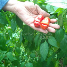 20 Peter Pepper Red Hot Chill Organic Vegetable Seeds