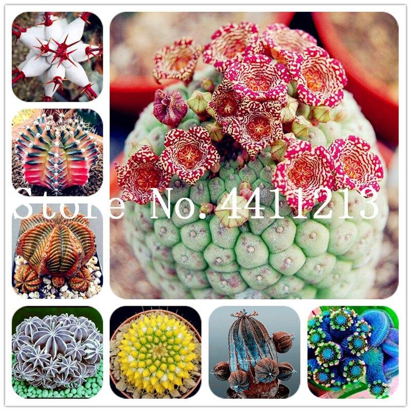 100PCS MIX Cactus Rebutia Variety Mix Exotic Flowering Color Bonsai Tree Decor