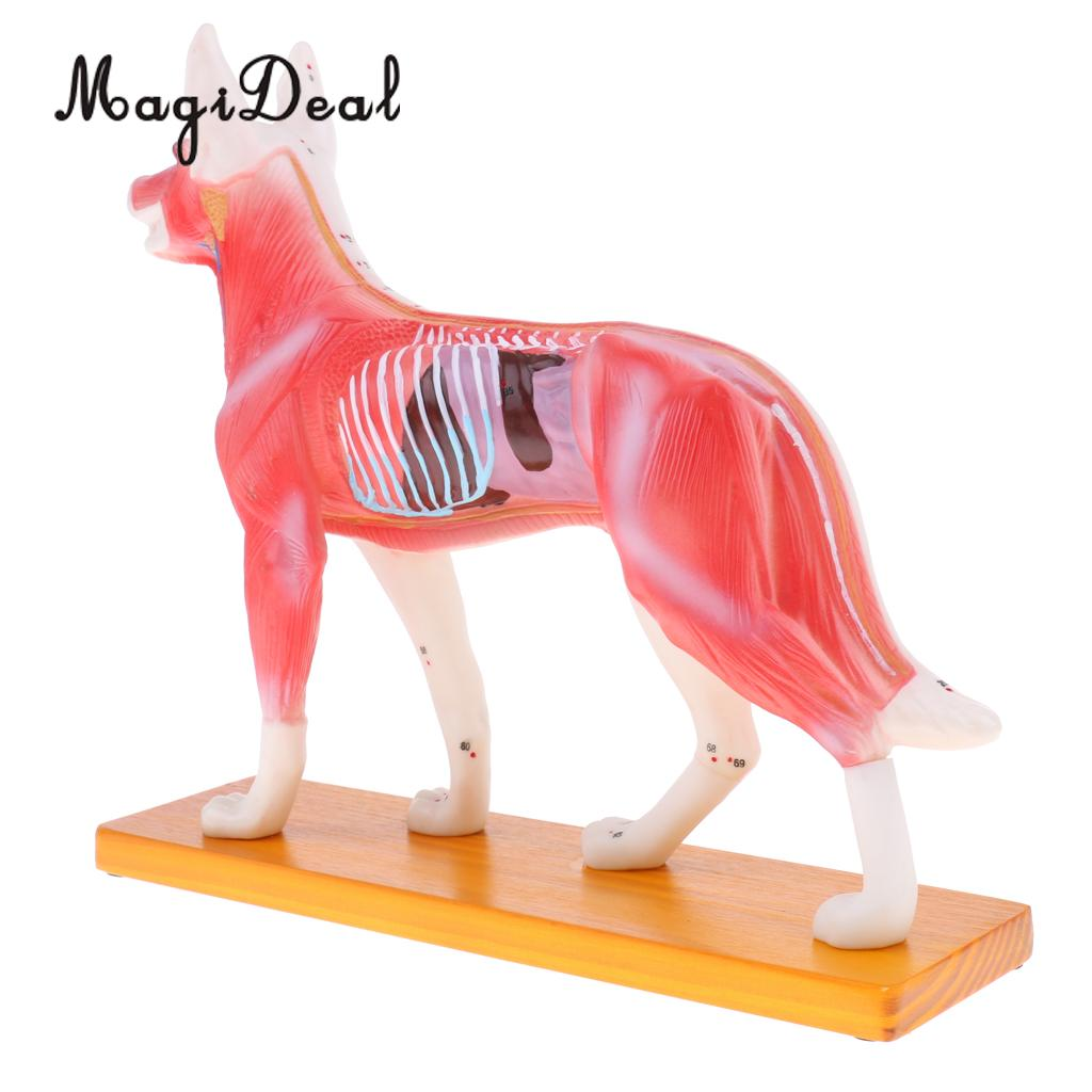 MagiDeal Dog Cat Acupuncture Anatomical Model with 72 Acupuncture Points for School Teaching Tool Medical Study Kit dog acupuncture animal anatomical model dog acupuncture point model animal teaching model dog model of acupuncture gasen dw001