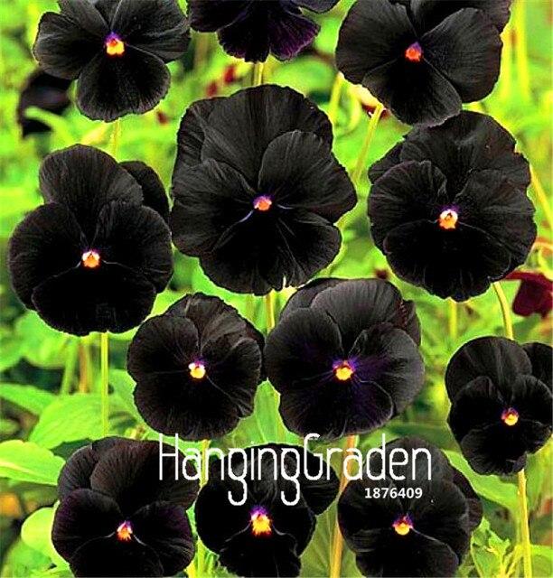 100 Pieces/Bag New Plant 2018! Rare Flower Garden Black Pansy Plantas, Cold Resitance Perennial Home Decoration Bonsai Flowers
