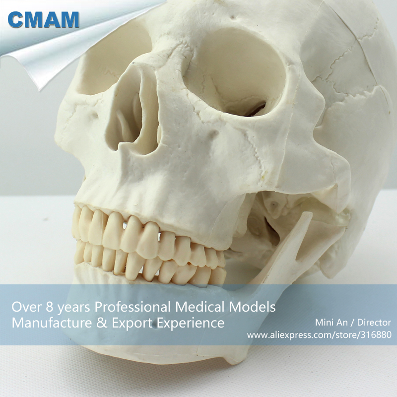 12328 CMAM-SKULL02 Asian Type Life Size Medical Human Skull Anatomy Model , Medical Science Anatomical Models cmam viscera01 human anatomy stomach associated of the upper abdomen model in 6 parts