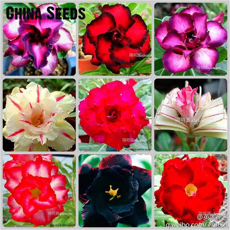 Free Shipping 10pcs Adenium Obesum bonsai Mix Bonsai Desert Rose Flower Plant bonsai For Indoor Plants Rainbow Semente Flor Gard