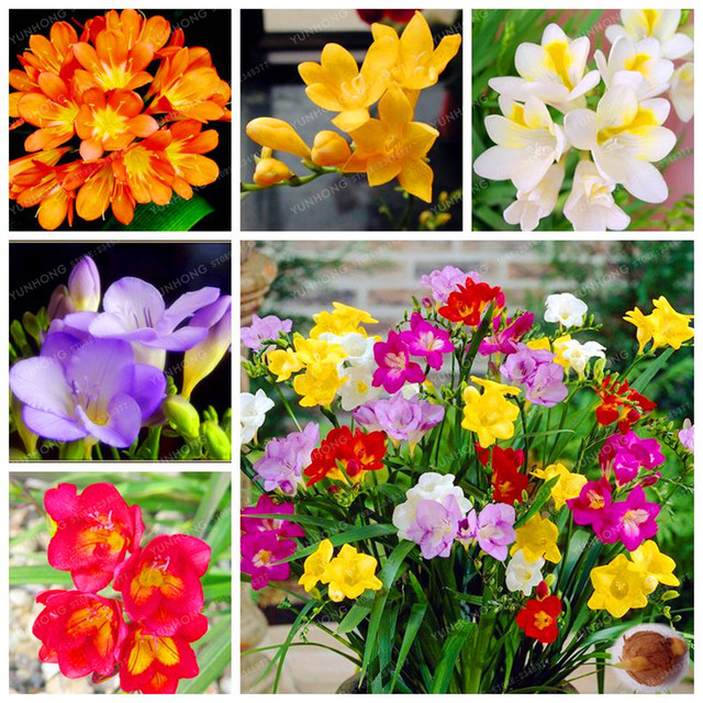 True Freesia Bulbs Indoor Potted Flowers Natural Growth Floral Home ...