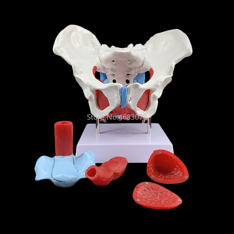 Female Pelvic Reproductive Organs Structure Model Female Genital Model Pelvis Bladder with Two Lumbar Pelvic Floor Muscle Model