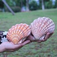 1pcs sea shells conch Natural shell scallop big shell lovers sallei fish tank yangtz decoration