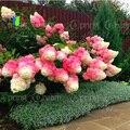 50 unids/bolsa Vainilla Fresa Flor Hortensia Semillas para La Plantación de Flores Bonsai o árbol Semillas Hydrangea Macrophylla Home Garden