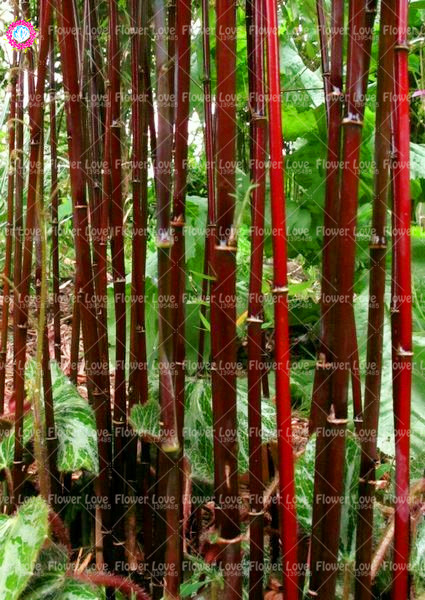 40PCS Red Bamboo bonsai plants Fresh Giant Moso bamboo plant Courtyard  Plant For DIY Home Garden Decoration plants