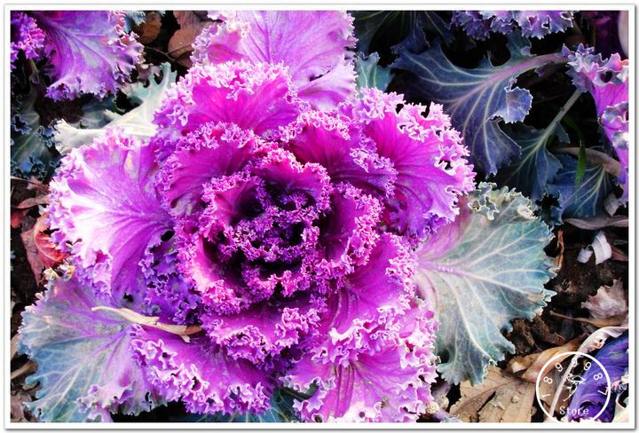 Big Sale!200pcs/bag Rare Garden Plants, Cabbage Flower Bonsai, Decorative Home And Garden Flower Plantas,#3W73FS