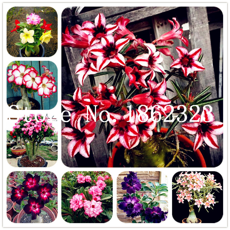 Dwarf Desert Rose Bonsai Flowers Adenium Obesum Plants 22 Colors 2 PCS Seeds New