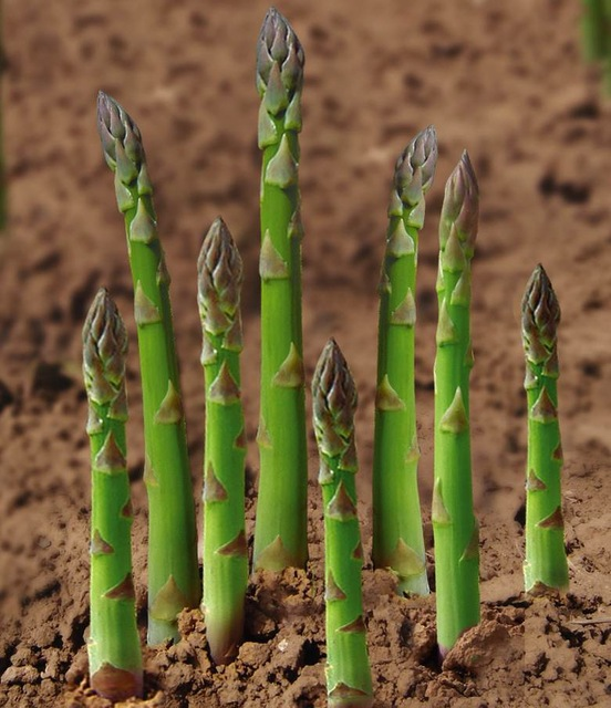 Hot asparagus seed vegetable 100 seed