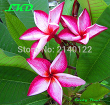 7-15inch Rooted Plumeria Plant Thailand Rare Real Frangipani Plants no31-banyen