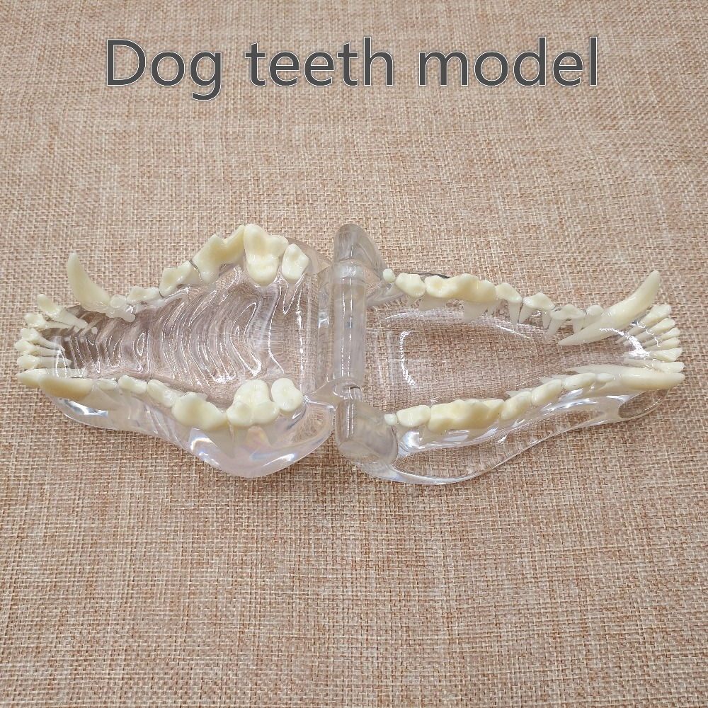 new Dog tooth jaw model Veterinary Teaching Dog tooth transparent professional model 2018 good quality dog dentition model the dog teeth skull jaw bone transparent solution planing teaching veterinary animal model