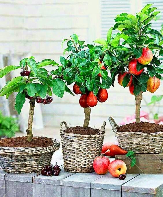 10 шт. Cherry 20 шт. груша 30 шт. Apple карлик бонсай дерева мини фруктовых деревьев для дома садовое насаждение многолетнее растение в горшке