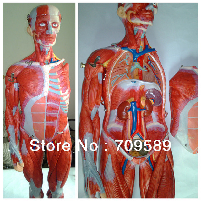 ISO 78 CM Muscles model, Full Body Muscles model, Anatomical Model ...