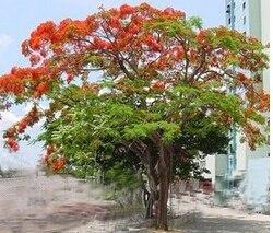 20pcs Delonix Regia Bonsai Seeds Royal Poinciana Flamboyant Tree Exotic Tree Seed Diy Home Garden Free Shipping Garden Clearance Gardengardening Supplies Plastic Pots Aliexpress