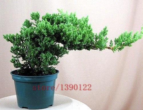 50pcs/bag Japanese Juniper Bonsai Starter Tree - Juniperus procumbens Nana potted plant for home garden