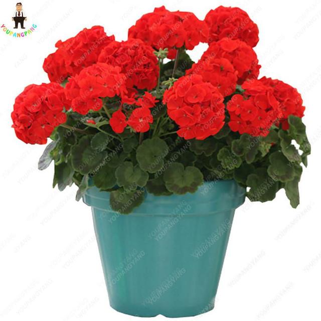 free shiping 50pcs Rare Geranium bonsai Appleblossom Rosebud Pelargonium Perennial Flower Hardy Plant Bonsai Potted