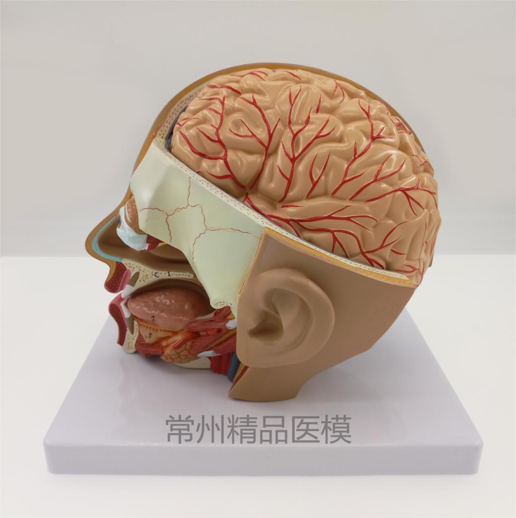 Teaching model head anatomical model natural size 4 parts brain model oral nasopharyngeal head brain anatomy model-in Medical Science from Office & ...