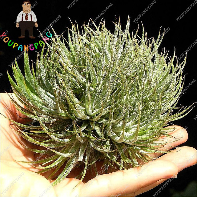 100 Pcs / Bag Air Plant plants Cactus Jardin Airplant Bonsai Flower Indoor Plants bonsai Garden Perennial planting Sementes