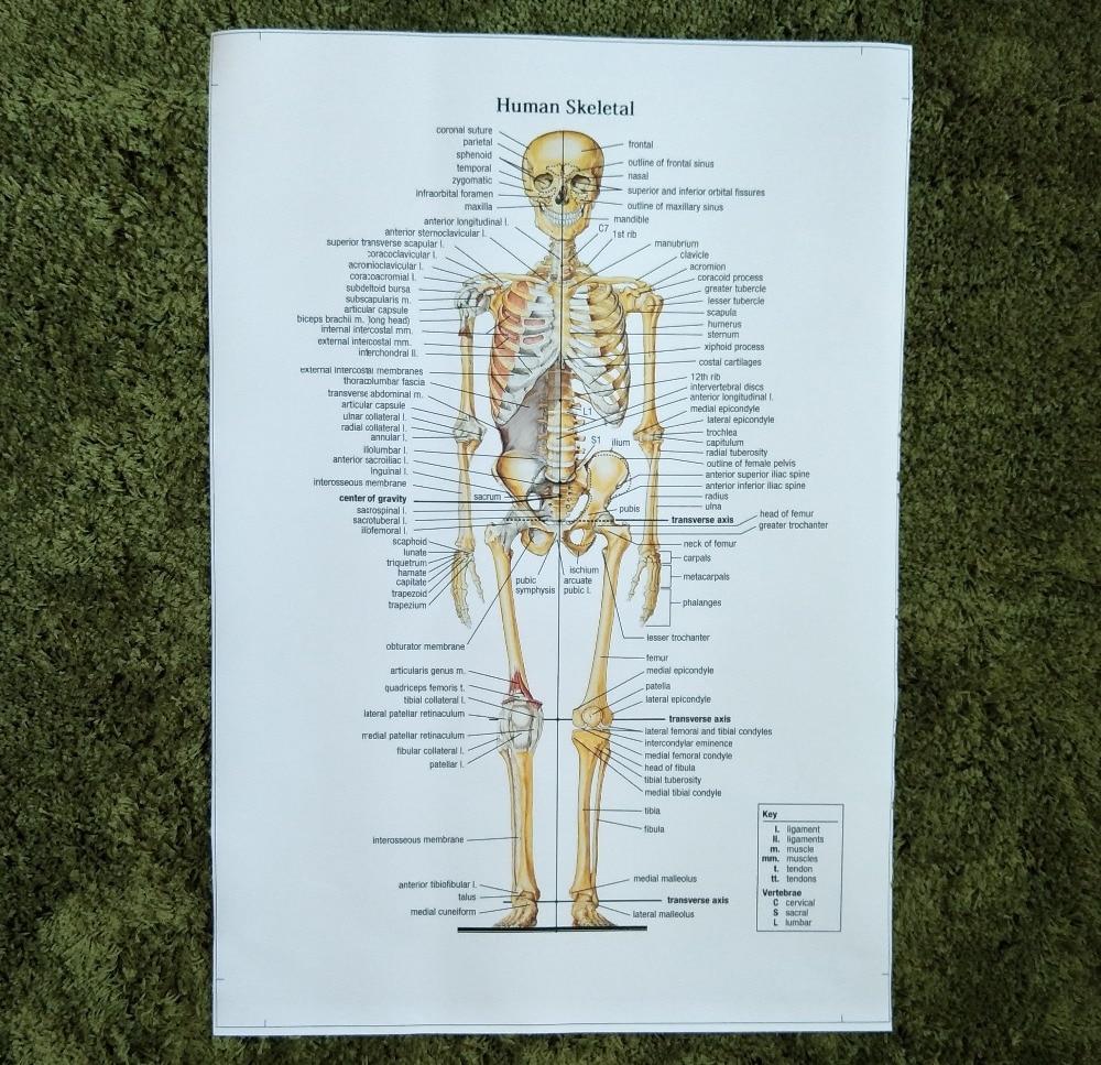 Wunderbar Menschliches Skelett Anatomie Diagramm Bilder ...